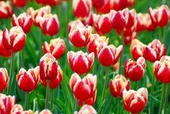 Beautiful red-white tulips variety Armani Royalty Free Stock Image