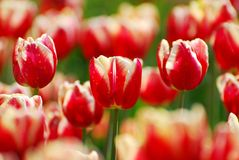 Beautiful red-white tulips variety Armani Royalty Free Stock Photos