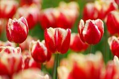 Beautiful red-white tulips variety Armani Royalty Free Stock Photos