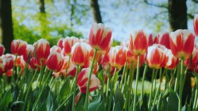 Beautiful red and white tulips. Well-kept flower bed in the park