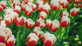 Fresh red-white tulips. In the Keukenhof park in the Netherlands. Beautiful red and white tulips. Well-kept flower bed in the park. 4K video stock video