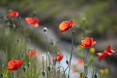 Beautiful red wild poppies Royalty Free Stock Images