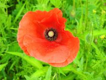 Beautiful red   wild poppy  flower in meadow, Lithuania Stock Photography