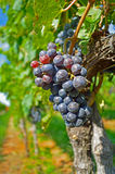 Beautiful Red Wine Grapes on the Branch Stock Photo