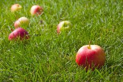 Beautiful red-yellow apples Royalty Free Stock Image