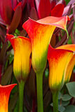 Beautiful red and yellow day lilies. Royalty Free Stock Photos