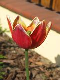 Beautiful red - yellow developed tulip Royalty Free Stock Photos