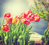 Beautiful red yellow filled tulips flowers over park or garden background, toned Stock Images