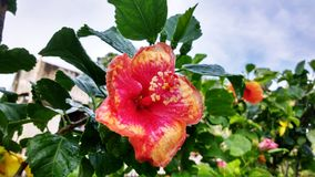 The beautiful red-yellow hibiscus flower after shower royalty free stock photo
