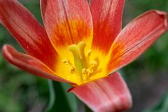 A beautiful red and yellow lily blooms among lush green grass on a warm day in early spring stock photo