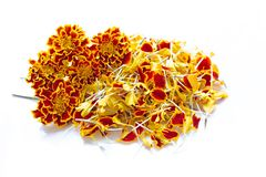 Beautiful red yellow marigold flower on over white. Background royalty free stock photos