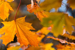 Beautiful red yellow orange autumn leaves background Stock Images