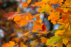 Beautiful red yellow orange autumn leaves background Stock Photography
