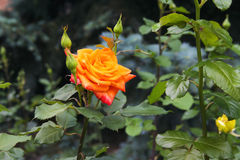Beautiful red yellow orange rose. In the garden among the summer greens stock image