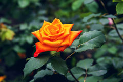 Beautiful red yellow orange rose. In the garden among the summer greens royalty free stock photos