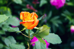 Beautiful red yellow orange rose. In the garden among the summer greens stock photography