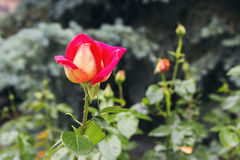Beautiful red yellow orange rose. In the garden among the summer greens royalty free stock photo