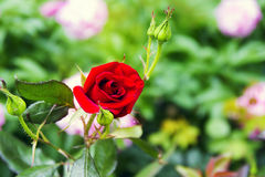 Beautiful red yellow orange rose. In the garden among the summer greens royalty free stock image
