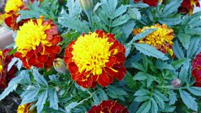 Beautiful red and yellow summer marigold  flower Stock Photography