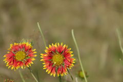 Beautiful Red Yellow Sunflowers Royalty Free Stock Photography