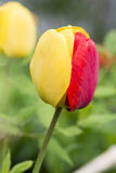 Beautiful red and yellow tulip Stock Photos