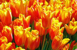 Beautiful red-yellow tulips close-up. Royalty Free Stock Image