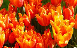 Beautiful red-yellow tulips close-up. Royalty Free Stock Images