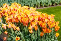 Beautiful red-yellow tulips close-up. Stock Photo