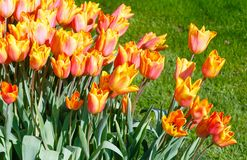 Beautiful red-yellow tulips close-up. Stock Photos