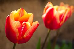 Beautiful red, yellow tulips closeup Stock Image