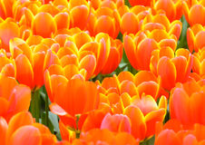Beautiful red-yellow tulips (closeup) Stock Images