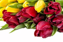Beautiful red and yellow tulips with leaves isolated on white background. Beautiful yellow tulips with leaves isolated on white background.  Spring flowers and stock photo