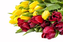 Beautiful red and yellow  tulips with leaves isolated on white background. stock image