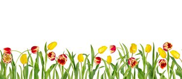 Beautiful red and yellow tulips on long stems with green leaves arranged in seamless row. Isolated on white background. Bright. Spring flowers. Can be used as a stock illustration
