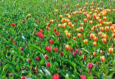 Beautiful red and yellow tulips. Nature background. Royalty Free Stock Photos