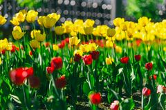 Beautiful Red and yellow Tulips in park Stock Image