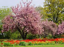 Beautiful red and yellow tulips and a pink tree royalty free stock images