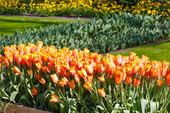 Beautiful red-yellow tulips. Stock Photos