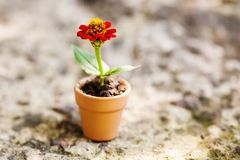 Beautiful red Zinnia flower in brown clay pot on stone background. Summer time floristic still life photo. Shallow depth. Of field, copy space royalty free stock photos