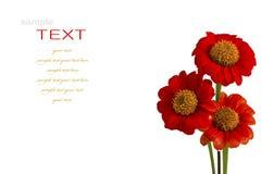 Beautiful red ZINNIA flowers Stock Image