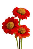 Beautiful red ZINNIA flowers Royalty Free Stock Images
