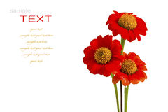 Beautiful red ZINNIA flowers Royalty Free Stock Photography