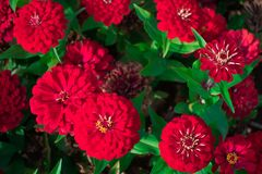 Beautiful red zinnia flowers in the garden. Nature Background. Nature concept royalty free stock image