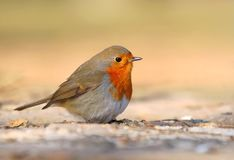 Beautiful redbreast robin Erithacus rubecula. In winter Royalty Free Stock Photo