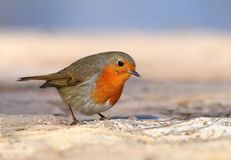 Beautiful redbreast robin Erithacus rubecula. In winter Royalty Free Stock Photos
