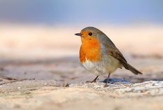 Beautiful redbreast robin Erithacus rubecula. In winter Royalty Free Stock Images