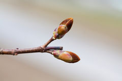 Beautiful reddish bud tree branch macro view. Spring time still life photo. Shallow depth of field, selective focus. Royalty Free Stock Images