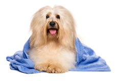 Beautiful reddish havanese dog after bath lying in a blue towel. Beautiful happy reddish havanese dog after bath is lying wrapped in a blue towel and looking at Stock Images