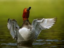 Redhead duck Stock Image