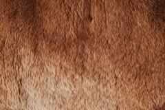 Beautiful redhead fur Rex rabbit for clothing Royalty Free Stock Image